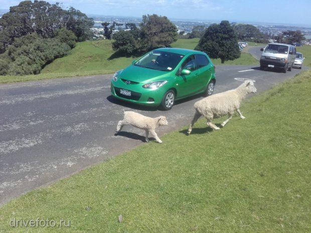 <strong>Овцы под колесами.</strong>