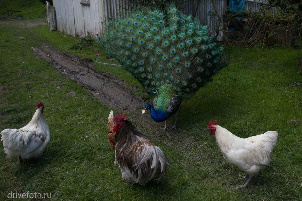 <strong>Дикие павлины отбирают еду у куриц.</strong>