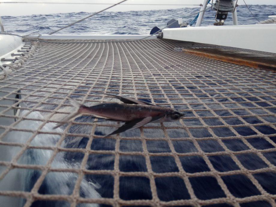 Самоубившаяся летучая рыба. Вполне съедобная, кстати