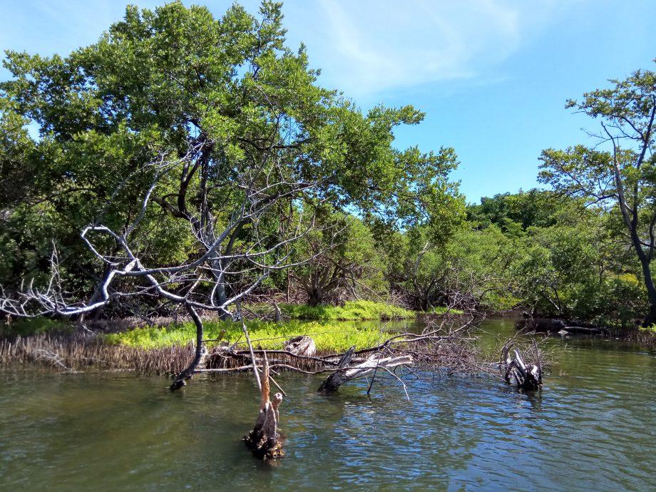 В мангровых зарослях