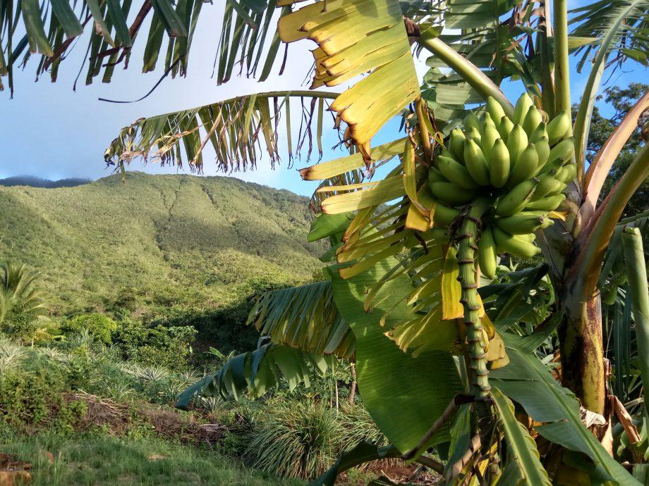 Бананы есть разных видов. Толстые и больше для обжаривания, по вкусу как сырники